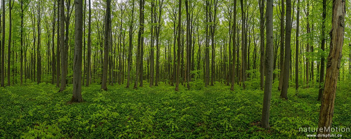 Buchenwald, frisch belaubt, wenig Unterholz, Buchenhallenwald, Mackenröder Spitze, Göttingen, Deutschland