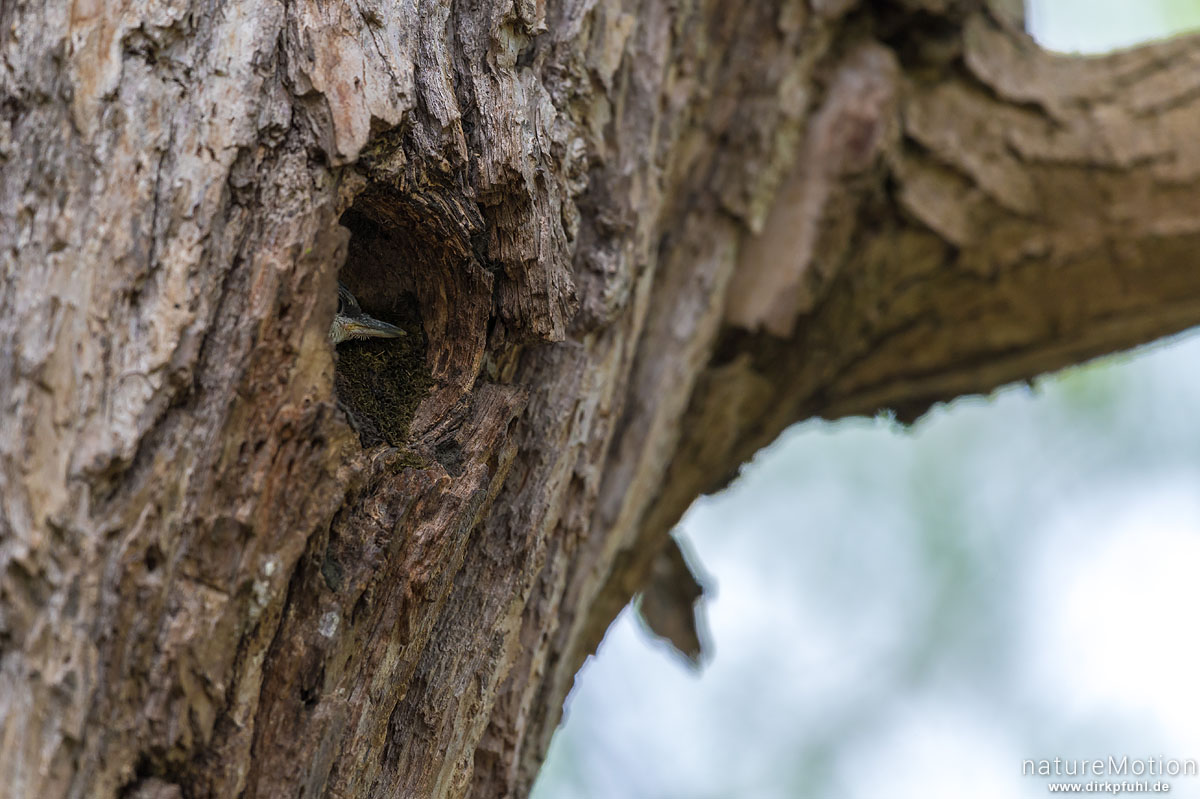 Kleiber, Sitta europaea, Kleiber (Sittidae),Jungtier schaut aus Bruthöhle, Kiessee, Göttingen, Deutschland