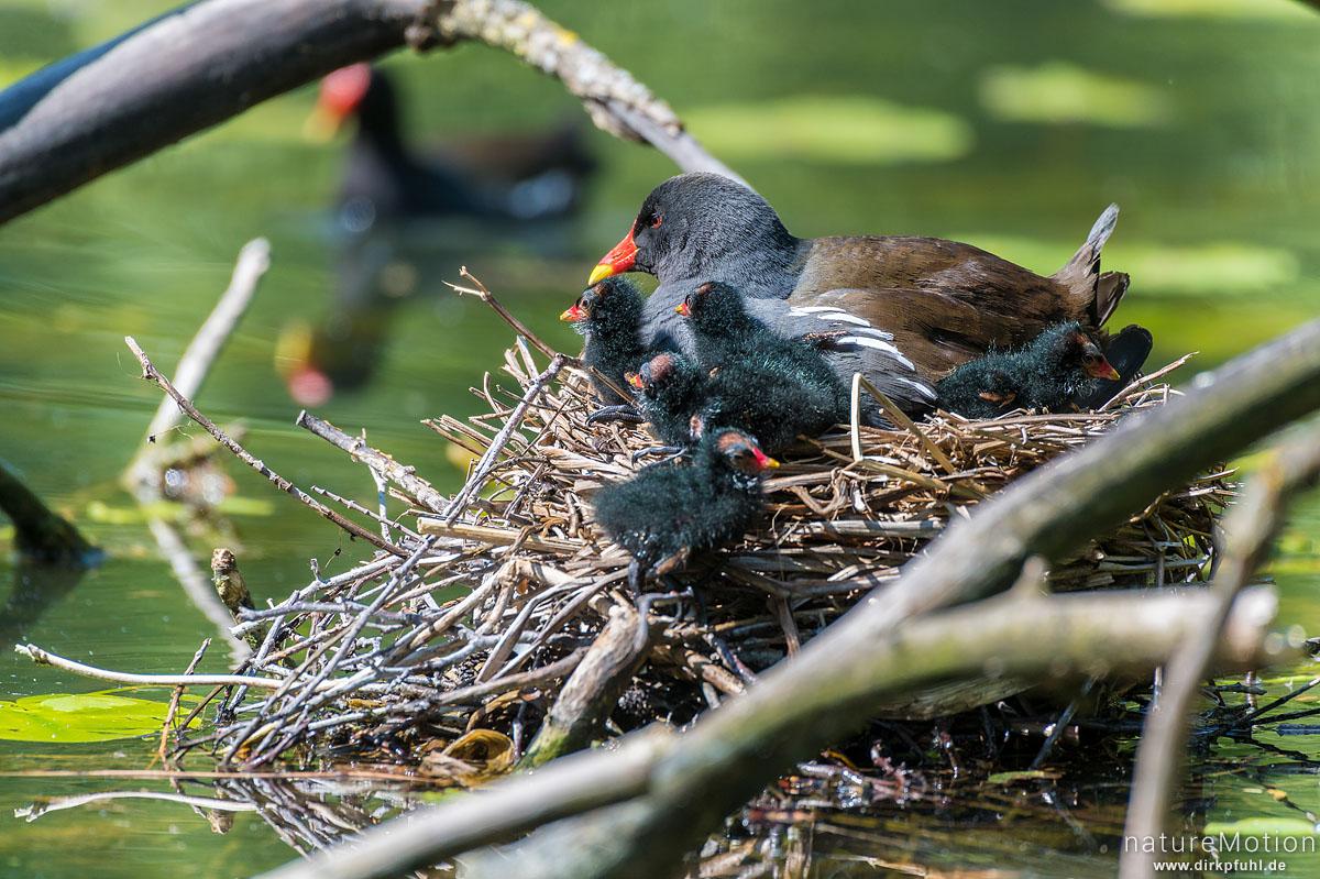 Teichralle, Teichhuhn, Gallinula chloropus, Rallenvögel (Rallidae), Alttier mit Küken auf dem Nest, Levinscher Park, Göttingen, Deutschland