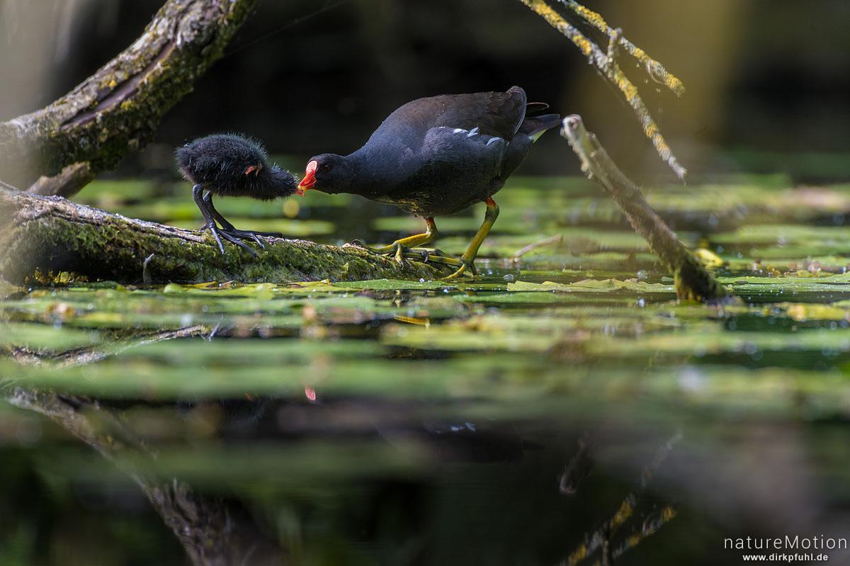 Teichralle, Teichhuhn, Gallinula chloropus, Rallenvögel (Rallidae),  Alttier füttert Küken, Levinscher Park, Göttingen, Deutschland