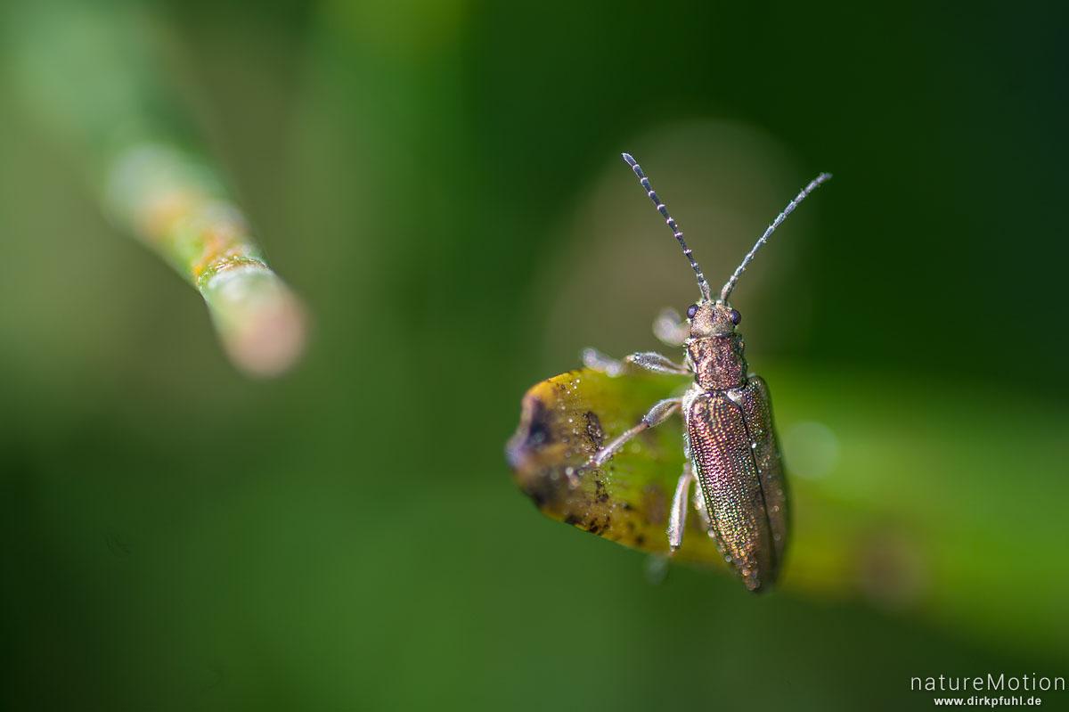 Schilfkäfer, Donacia aquatica bzw. Donacia spec., Blattkäfer (Chrysomelidae), an Blatt einer Wasserlilie, Wiesengraben am Flüthewehr, Göttingen, Deutschland