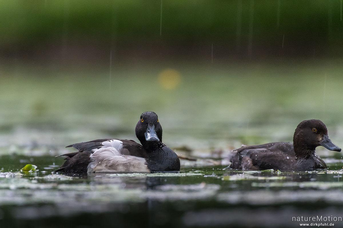 Reiherente, Aythya fuligula, Entenvögel (Anatidae),Paar, im Regen, Levinscher Park, Göttingen, Deutschland