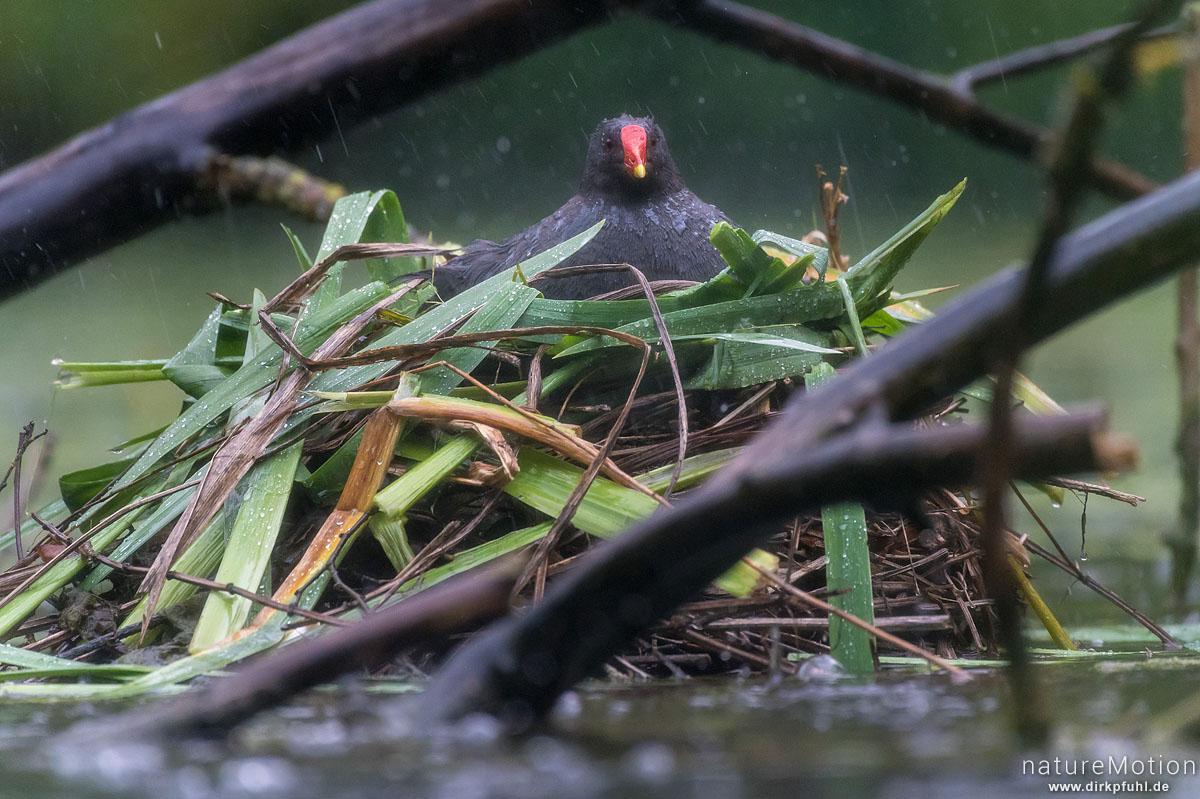Teichralle, Teichhuhn, Gallinula chloropus, Rallenvögel (Rallidae), Alttier auf Nest, Regen, Levinscher Park, Göttingen, Deutschland