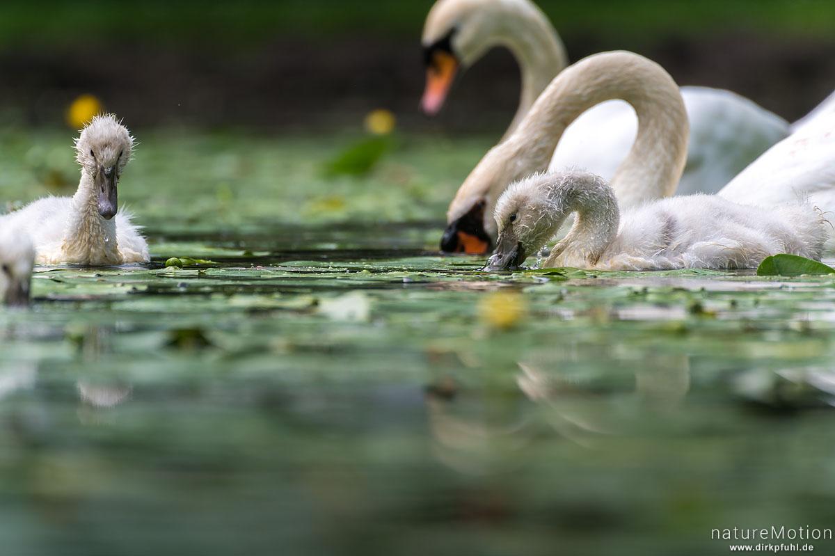Höckerschwan, Cygnus olor, Entenvögel (Anatidae), Küken und Alttier bei der Nahrungssuche, Levinscher Park, Göttingen, Deutschland