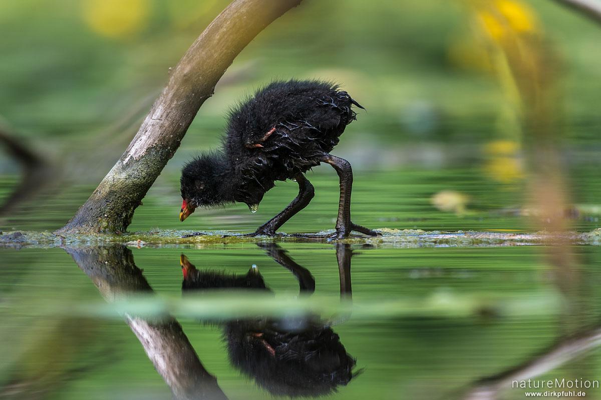 Teichralle, Teichhuhn, Gallinula chloropus, Rallenvögel (Rallidae), Küken auf Nahrungssuche abseits vom Nest, Levinscher Park, Göttingen, Deutschland