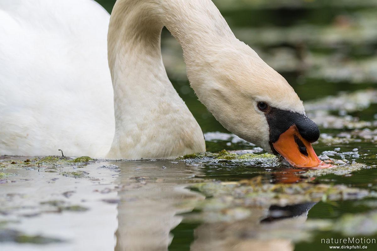 Höckerschwan, Cygnus olor, Entenvögel (Anatidae), Tier beim fressen von Wasserpflanzen, Levinscher Park, Göttingen, Deutschland