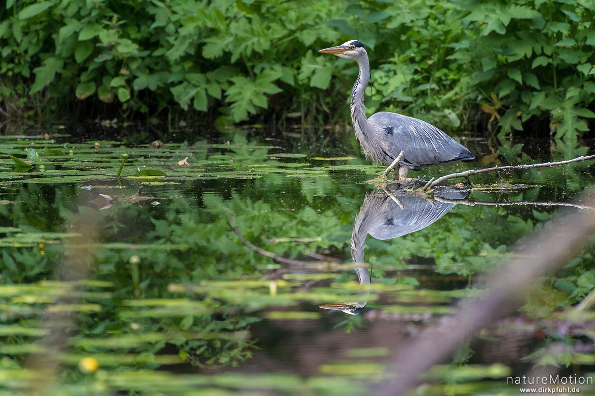 Graureiher, Ardea cinerea, Ardeidae, Tier auf Nahrungssuche im Teich, Levinscher Park, Göttingen, Deutschland