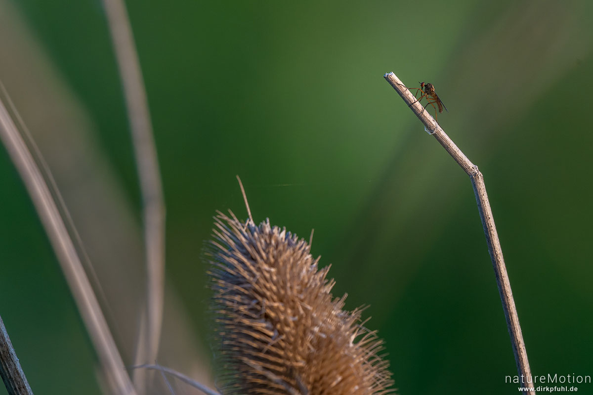 Helle Tanzfliege, Empis livida, Tanzfliegen (Empididae), Tier auf Pflanzenstengel, Diemardener Warte, Diemarden bei Göttingen, Deutschland
