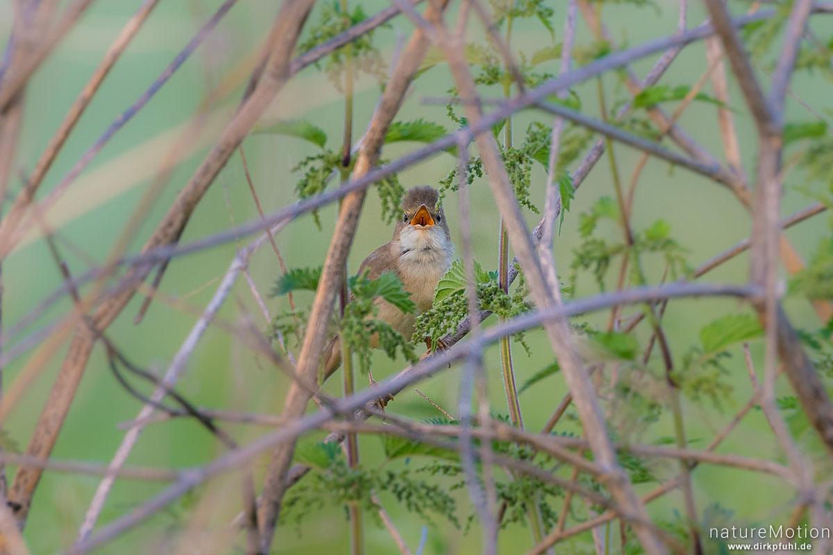 Nachtigall, Luscinia megarhynchos, Fliegenschnäpper (Muscicapidae), singendes Männchen in dichtem Strauchwerk, Diemardener Warte, Diemarden bei Göttingen, Deutschland