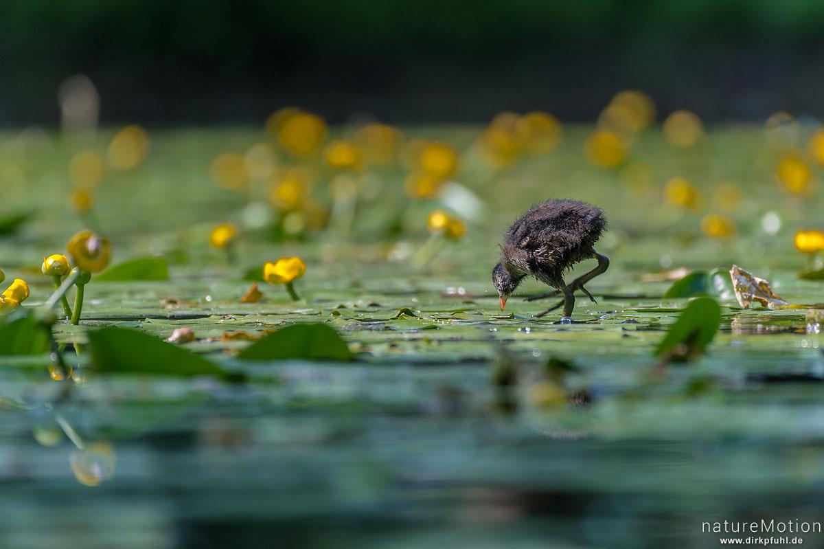 Teichralle, Teichhuhn, Gallinula chloropus, Rallenvögel (Rallidae), Küken bei der Nahrungssuche zwischen Seerosen, Levinscher Park, Göttingen, Deutschland