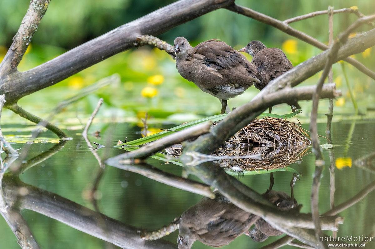Teichralle, Teichhuhn, Gallinula chloropus, Rallenvögel (Rallidae), Küken auf altem Nest, Levinscher Park, Göttingen, Deutschland