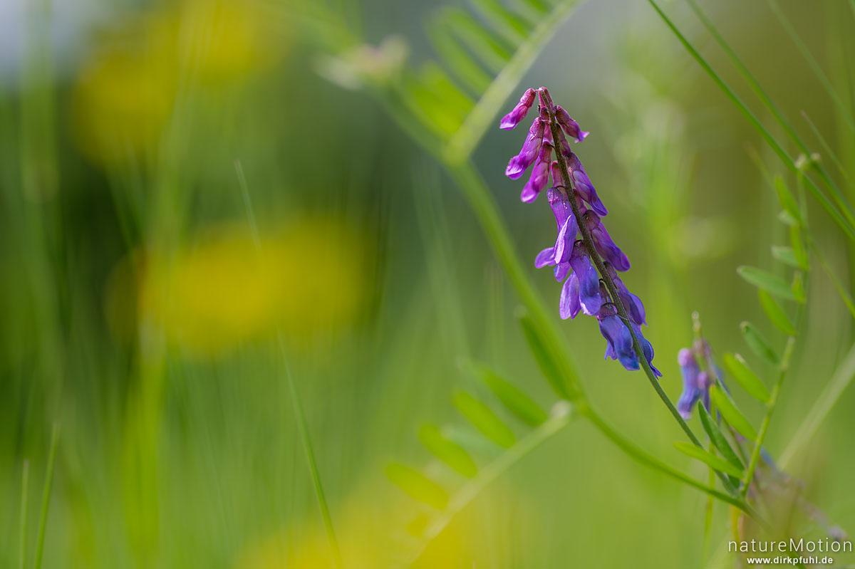 Vogel-Wicke, Vicia cracca, Fabaceae, Blütenstand, Naturschutzgebiet Kühkopf-Knoblochsaue, Stockstadt, Deutschland