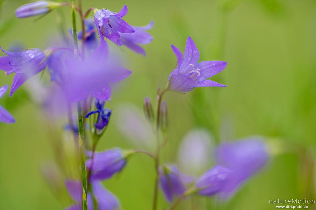 Rapunzel-Glockenblume, Campanula rapunculus, Glockenblumengewächse (Campanulaceae), Blütenstand, Fränkisch-Crumbach, Deutschland