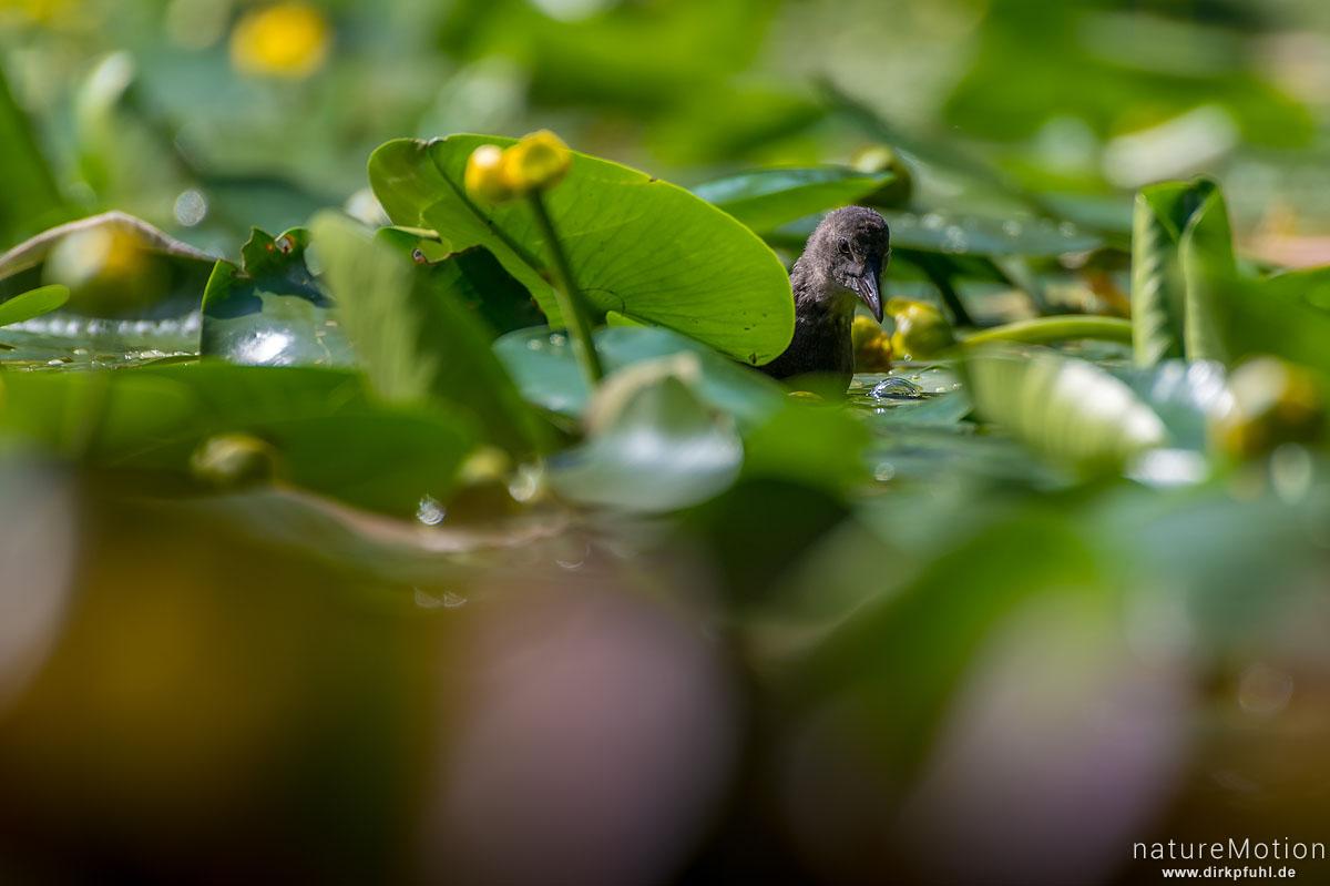 Teichralle, Teichhuhn, Gallinula chloropus, Rallenvögel (Rallidae), Küken auf Nahrungssuche zwischen Seerosen, Levinscher Park, Göttingen, Deutschland