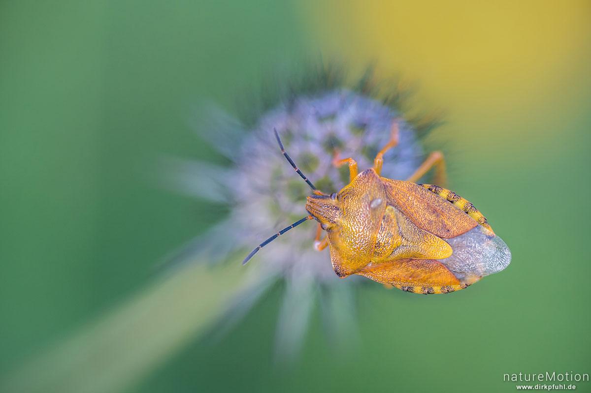 Nördliche Fruchtwanze, Carpocoris fuscispinus, Baumwanzen (Pentatomidae), saugt an Fruchtstand, Groß Lengden bei Göttingen, Deutschland