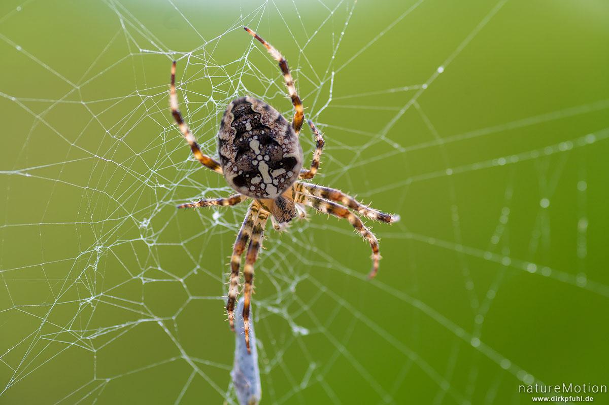 Gartenkreuzspinne, Araneus diadematus, Echte Radnetzspinnen (Araneidae), Weibchen im Nest, KSV Kalefeld, Kalefeld, Deutschland