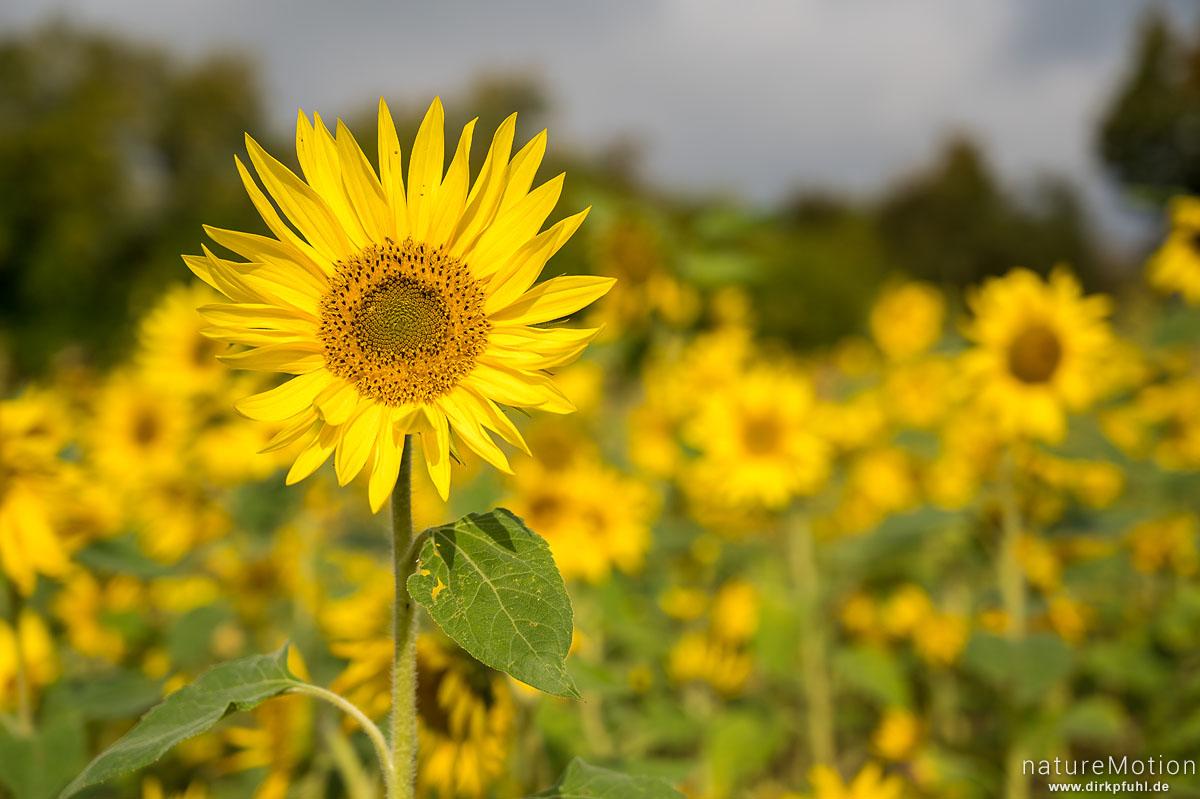 Sonnenblume, Helianthus annuus, Asteraceae, Blüten, Reinhausen bei Göttingen, Deutschland
