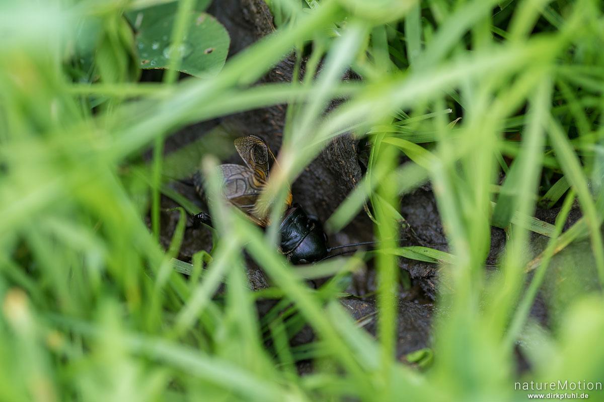 Feldgrille, Gryllus campestris, Echte Grillen (Gryllidae), zirpendes Männchen in gemähter Wiese, Rainen, Nesselwang (Allgäu), Deutschland