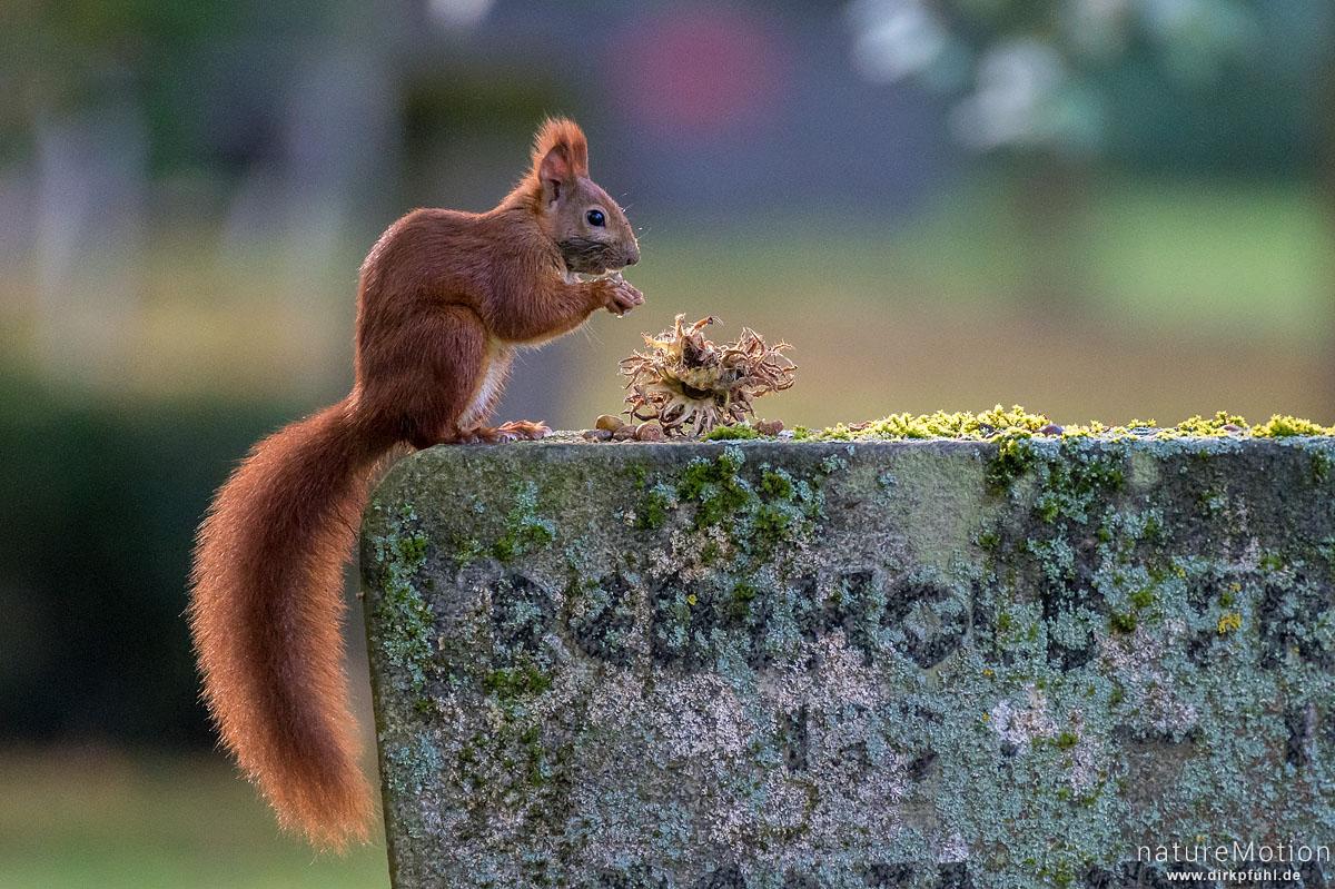 Eichhörnchen, Sciurus vulgaris, Hörnchen (Sciuridae), Tier sammelt Haselnüsse als Wintervorrat, Stadtfriedhof, Göttingen, Deutschland