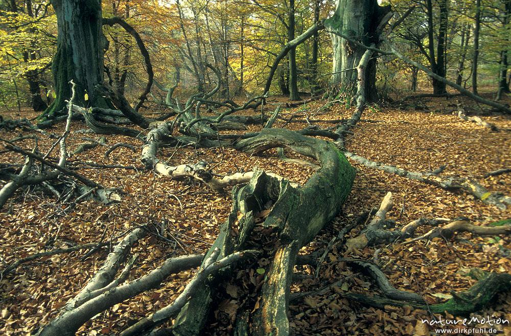 buchenwald mit totholz urwald sababurg urwald sababurg