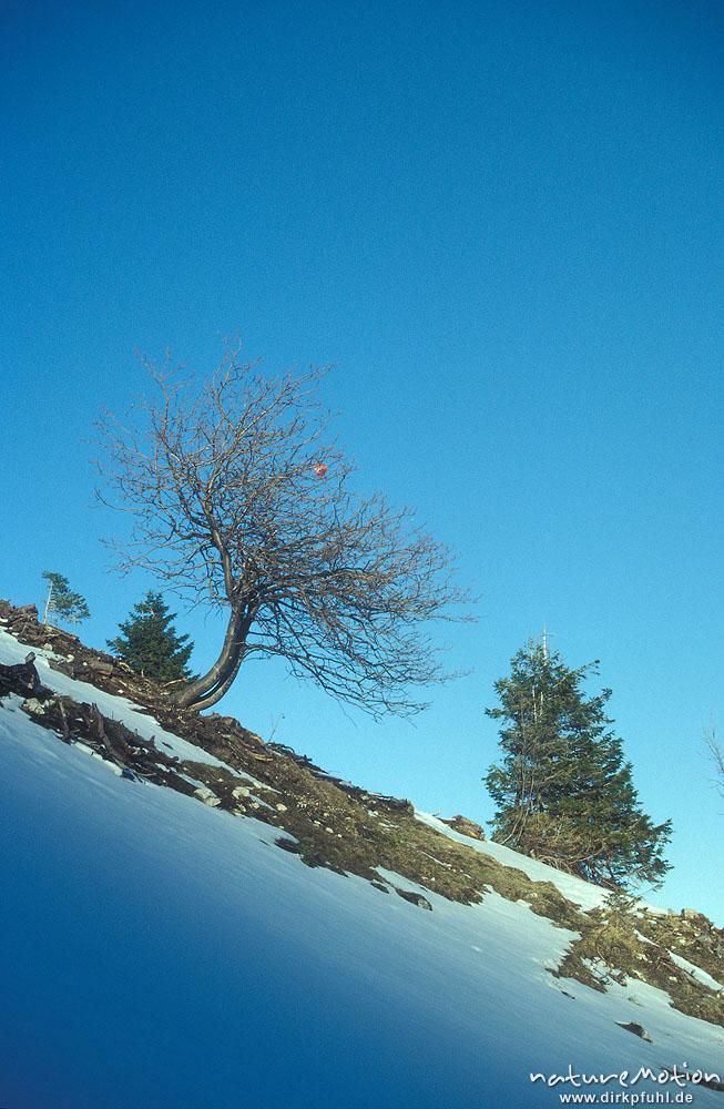 baum an schneehang blauer himmel alpen deutschland. Black Bedroom Furniture Sets. Home Design Ideas